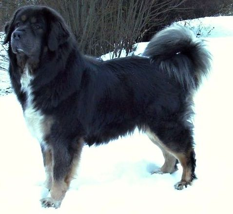 Tibet Dogge / Tibet Mastiff