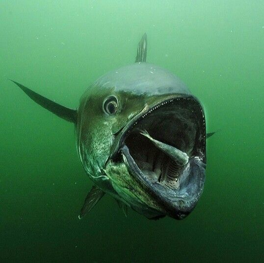 159 best images about tuna fish on pinterest fishing for Is tuna fish good for you