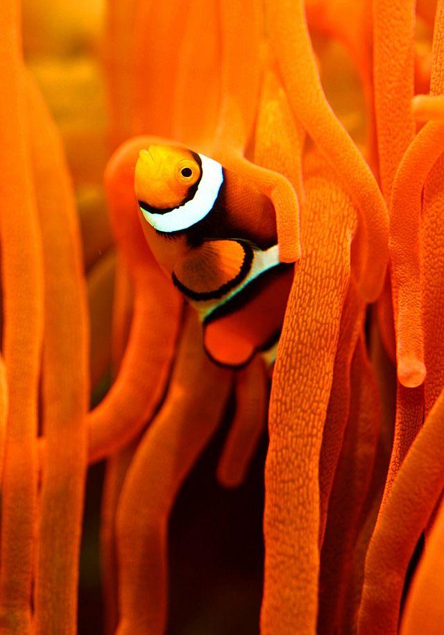 NemoOrange, Real Life, Clowns Fish, Colors, Clown Fish, Sea, Clownfish, Finding Nemo, Animal
