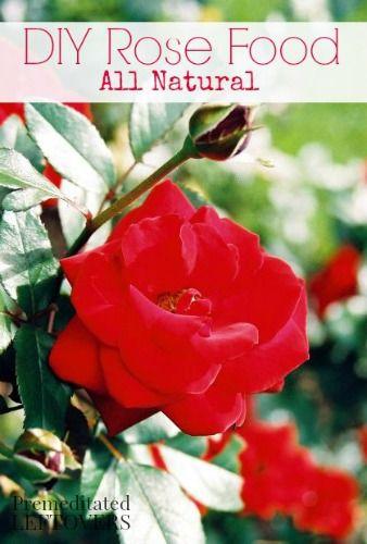 diy rose food recipe - Mini Roses Care Indoor