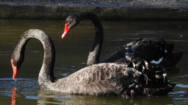 Oiseaux - Cygne noir - Cygnus atratus - Duo dans le Parc de la Mairie à Chilly-Mazarin
