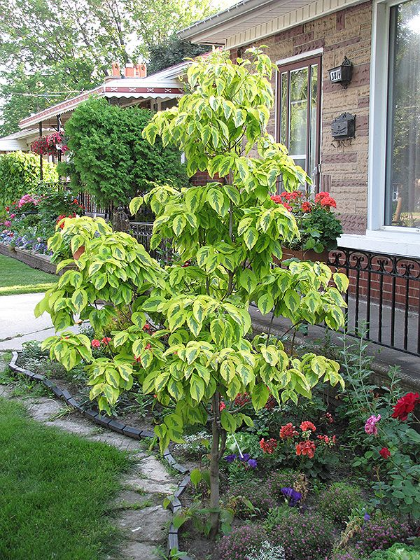 Fascinating  Best Images About Landscape Trees On Pinterest  Nursery  With Handsome Cherokee Daybreak Flowering Dogwood Cornus Florida Cherokee Daybreak At  Hicks Nurseries With Awesome Greek Covent Garden Also Garden Hose Reviews In Addition Lakeland Garden Furniture And Pizza Hut Covent Garden As Well As Herb Garden Uk Additionally Atlas Garden Gloves Retailers From Pinterestcom With   Handsome  Best Images About Landscape Trees On Pinterest  Nursery  With Awesome Cherokee Daybreak Flowering Dogwood Cornus Florida Cherokee Daybreak At  Hicks Nurseries And Fascinating Greek Covent Garden Also Garden Hose Reviews In Addition Lakeland Garden Furniture From Pinterestcom