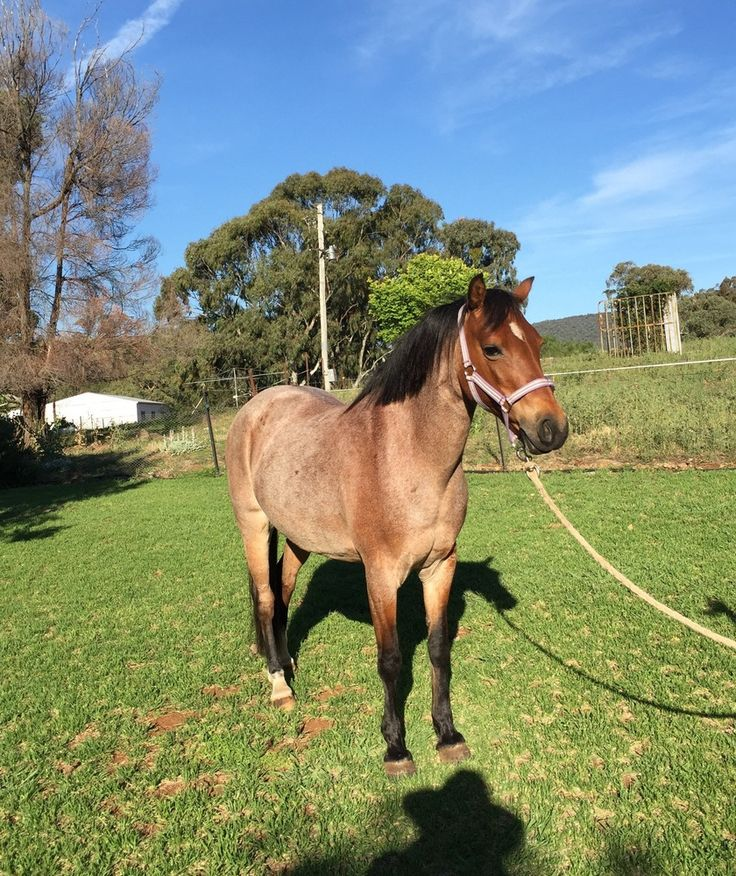 Cherrie is a welsh mountain pony. Fun on trail rides and would suit someone wanting to have fun at pony club. Not a beginners horse-need confident rider.