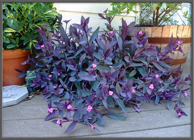 Setcreasea - native Mexican, makes an easy-to-grow vibrant purple groundcover that produces small butterfly-attracting flowers. Cascade over a wall or dangle from a pot. Moist soil in part to full sun. Pinch to encourage bushiness and cut back flowering stems after blooming. Water moderately and fertilize monthly during active growth.
