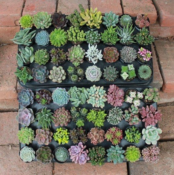 """2.5"""" Assorted Succulents bulk wholesale wedding Favor gifts at the succulent source - 2"""