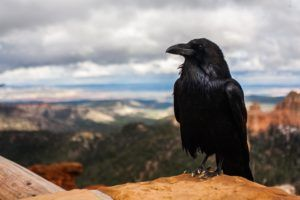 Weird Facts Crows and Ravens the Birds of Intelligence ... Scary They're So Smart #crow #raven