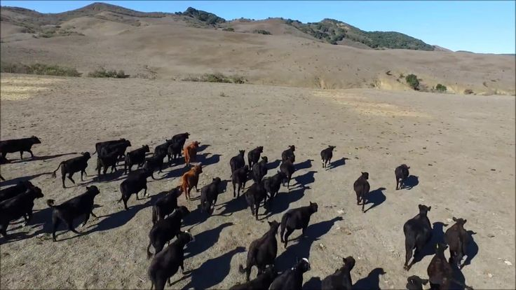 Herding Cows with a Drone, Funny Video!
