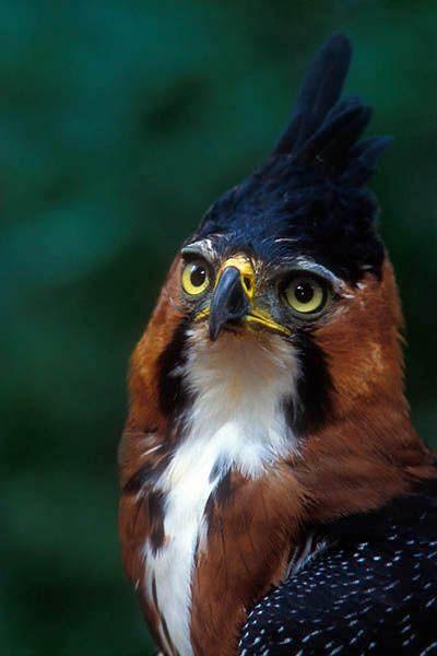 ^Águila de Penacho (Spizaetus ornatus)