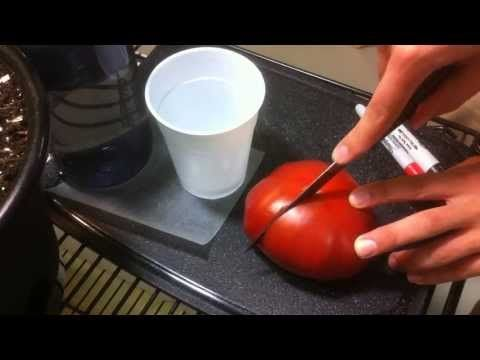 How to Save YOUR Tomato Seeds! Quick and EASY Seed Saving Tomatoes! - YouTube