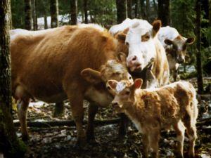 Luonnontilaisessa nautalaumassa on parikymmentä naarasta jälkeläisineen.