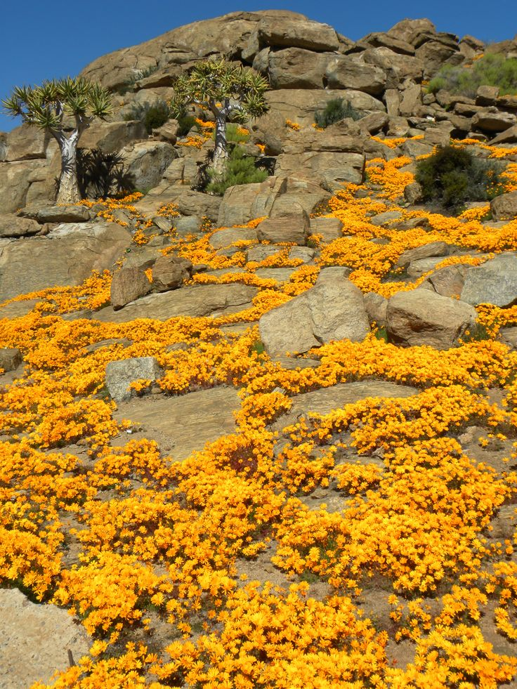 In some of the most arid parts of the Cape Province, the spring flowers are the most beautiful and plentiful.