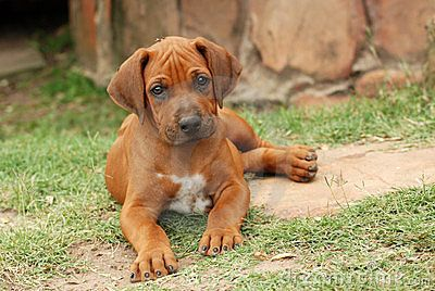A cute little Rhodesian Ridgeback puppy dog lying in the grass with a cute expression on its face.