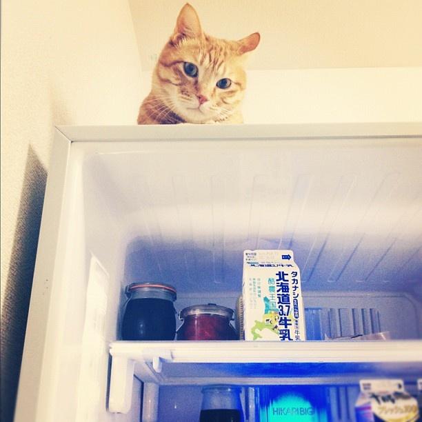 何か始まる。冷蔵庫開けたら思わぬ場所からにゃこ監視。 @macilo