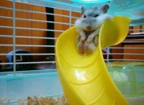 Fat hamster stuck on his slide.: