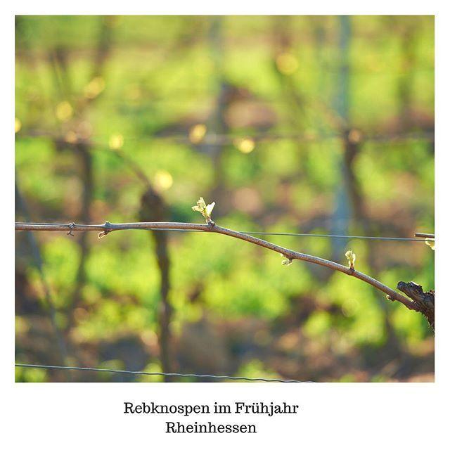 Frühlingsgefühle! Endlich spriesst der #Riesling in #Reinhessen - Zeit für einen Ausflug in die Weinblüte!    www.buyboon.com