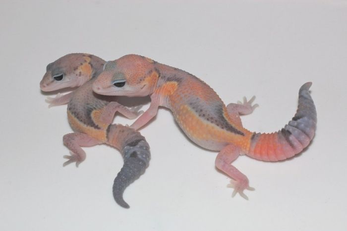 JMG Retile is a fantastic leopard gecko breeder.  They have lots of excellent gecko morphs.