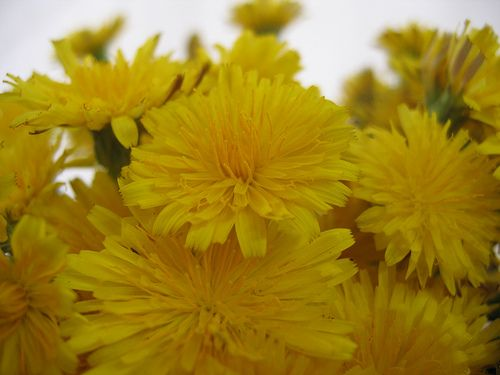 A Year of Herbs: Dandelions