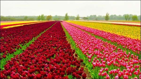 نیدرلینڈز کے ٹاؤن لیزے گارڈن میں 80 ایکڑ پر پھیلے لاکھوں گل لالہ نے شہرکی خوبصورتی میں اضافہ کر دیا