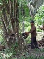 Cutting down another oil palm illegally planted in the Gunung Leuser National Park.