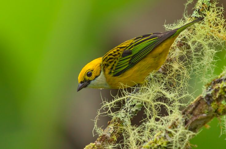 """Photography Week : Tangara Gorgiplata by Raúl Vega  """"This photograph of a Silver-throated Tanager (Latin name Tangara icterocephala) was taken in San Isidro de Pérez Zeledón, near San José, Costa Rica. It is a common bird to find in this area.""""  You can see more of Raúl's photography at his website.  Image copyright Raúl Vega and used with permission."""