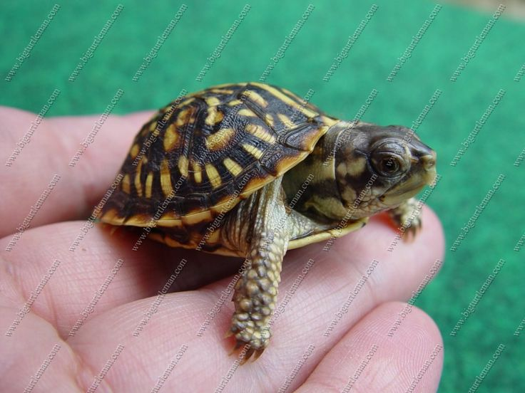 Baby Box Turtles Pictures Baby Ornate Box Turtle