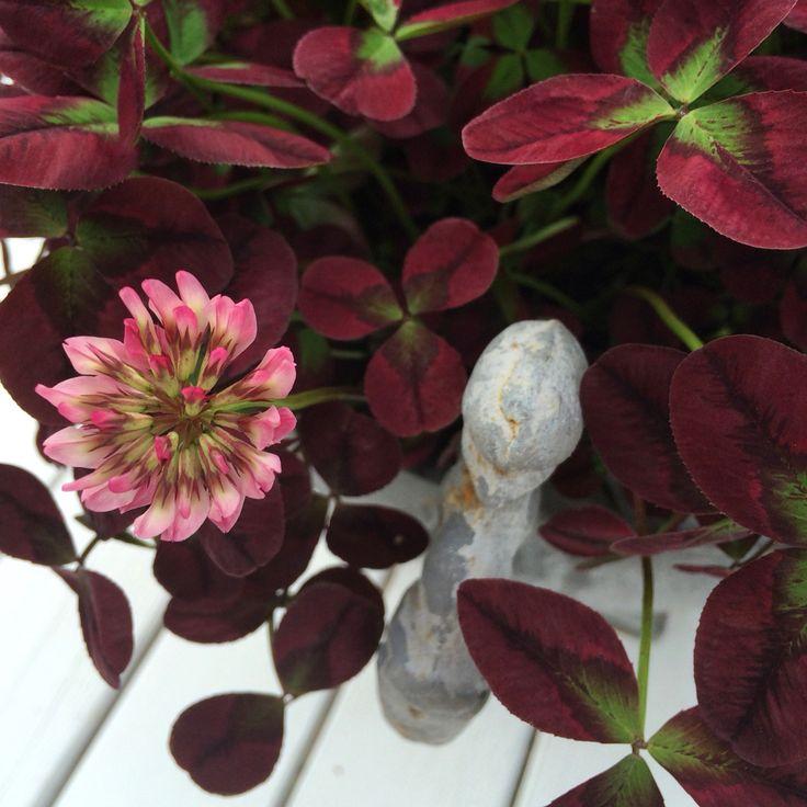 Rödbladigt klöver, Trifolium