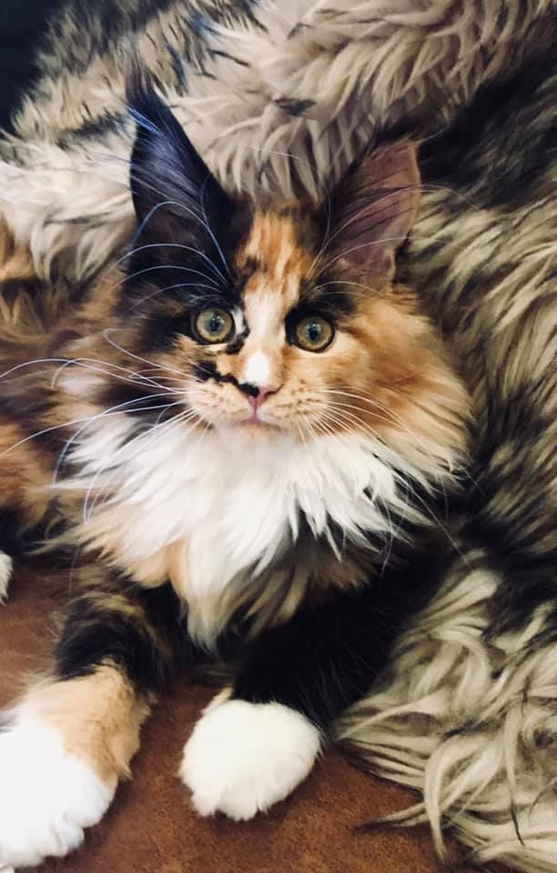 Maine Coon Kittens Colorado For Sale