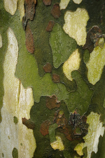 The understated colours of sycamore bark.