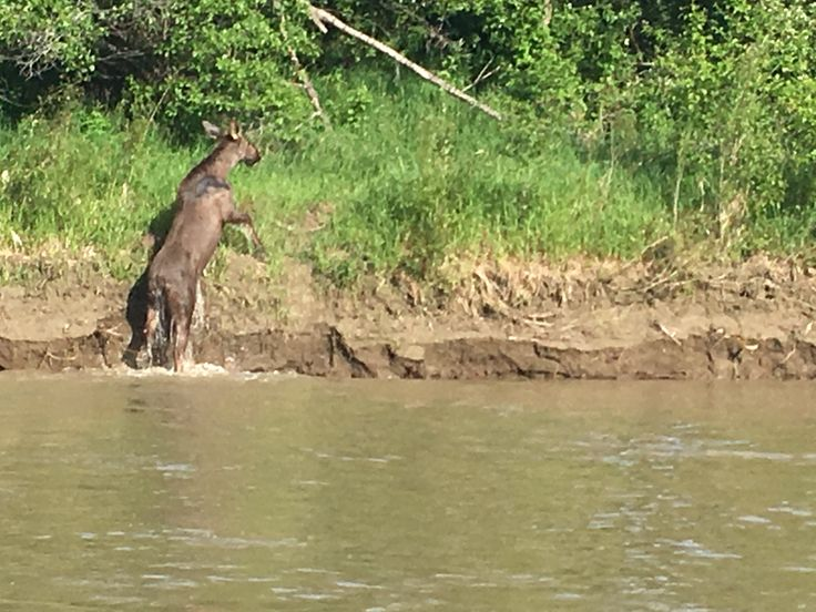 Moose getting out of the River.