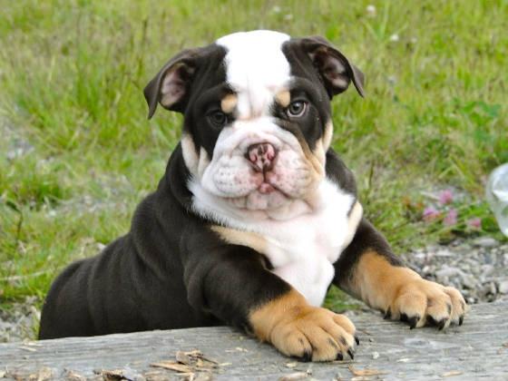 Chocolate Mini English Bulldog.
