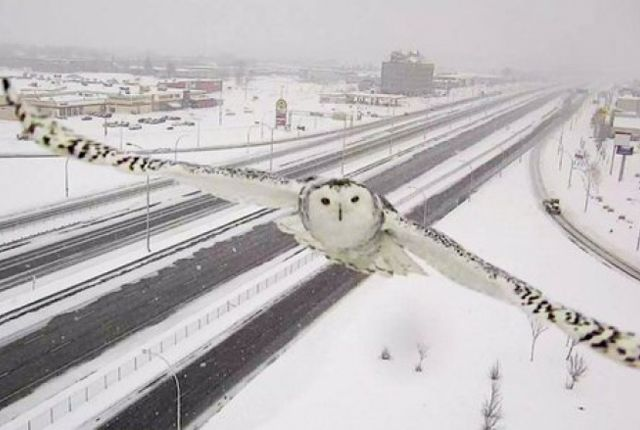 Traffic cameras don't generally take interesting photographs, but sometimes they get lucky. Such was the case on January 3, when Transport Quebec's traffic camera snapped several pictures of an owl mid-flight. The photos of the majestic animal's flyby were taken right by highway 40 in Montreal.