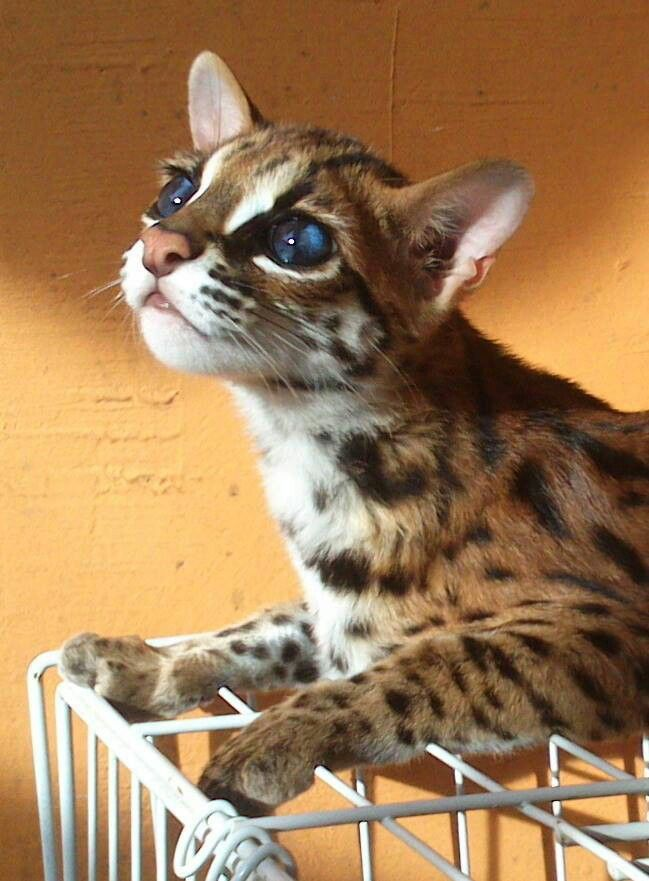 I'm in love with this rare, blue eyed Asian Leopard Cat ...