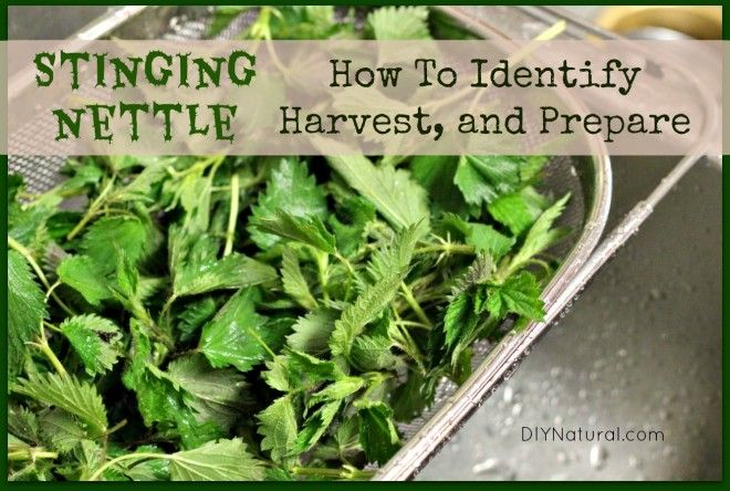 Stinging Nettle / http://www.diynatural.com/stinging-nettle-how-to-identify-harvest-and-eat/
