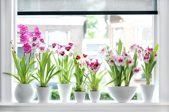 335923365d3848151fd0211cf3051e6b--miltonia-orchid-indoor-plants House Plant Ze on house chemicals, house people, house stars, house vines, house candy, house gifts, house ferns, house design, house nature, house rodents, house decorations, house family, house slugs, house fire, house home, house cars, house flowers, house mites, house crafts, house plans,