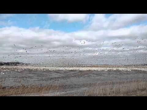 Snow goose spring migration @ Montezuma - YouTube