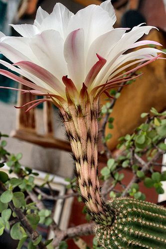 Fiore del ..cactus | Flickr - Photo Sharing!