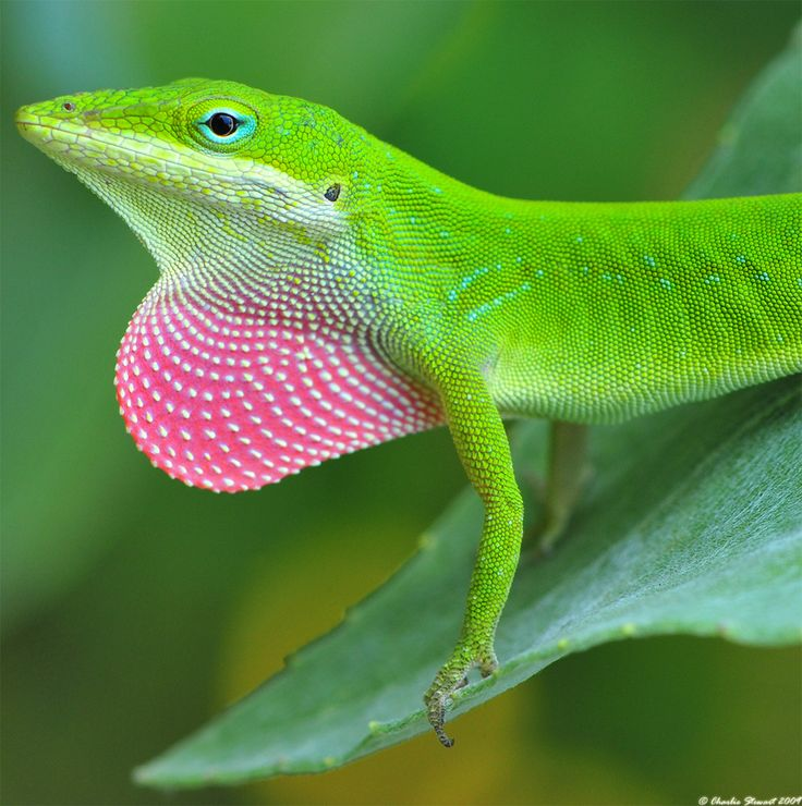 Anole Lizard. We used to call these chameleons because they can change color too.