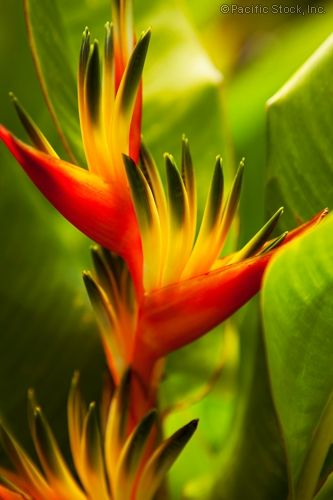 Heliconia flowers, Maui, Hawaii Mic, these should be your new favorites :)