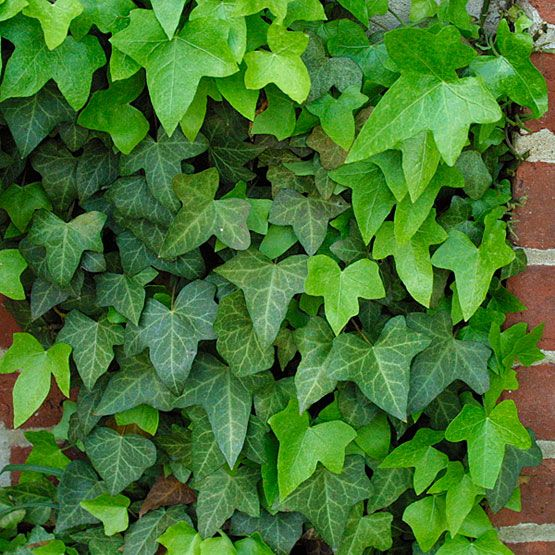56 best images about ivy