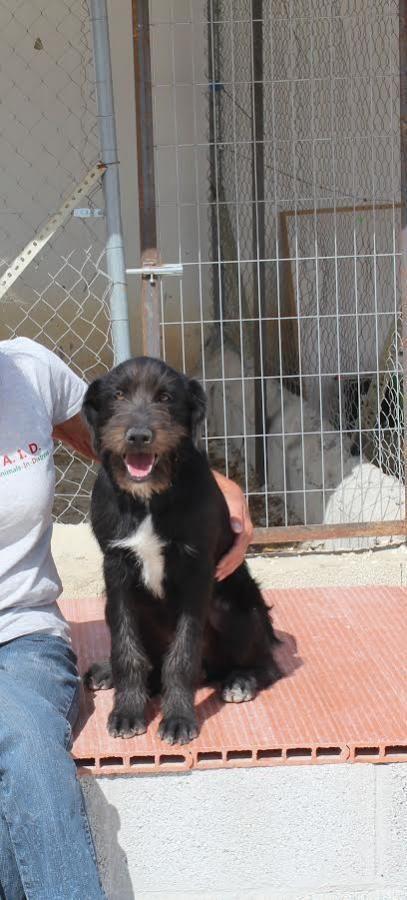 Dit is Dillon, de eigenaars van deze lieve pups vertrokken naar hun land van herkomst en lieten de moeder met negen…