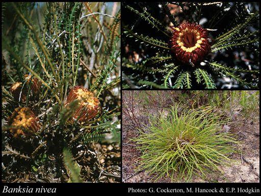 Photo of Banksia nivea Labill. (Herbarium collection)