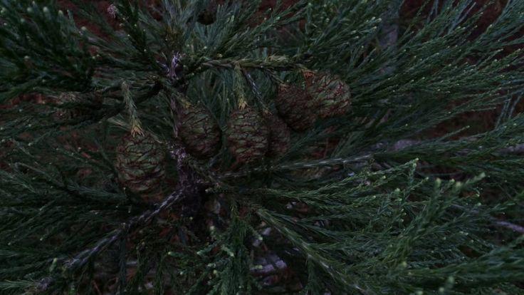 Giant redwood (Sequoiadendron giganteum) - immature female cones - December 2017