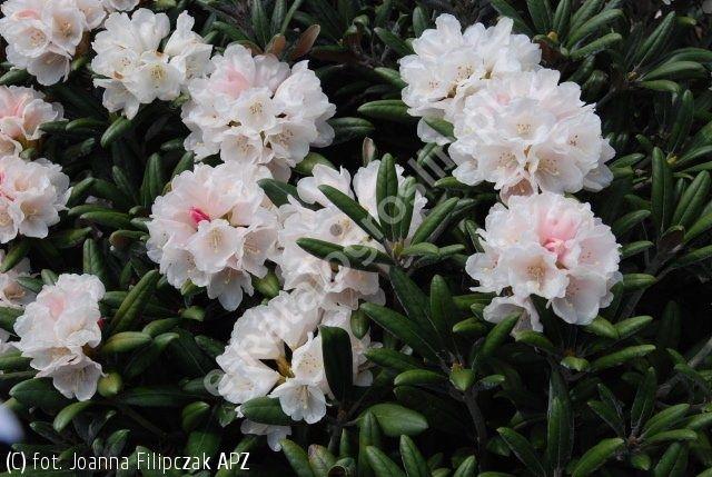 różanecznik 'Edelweiss'