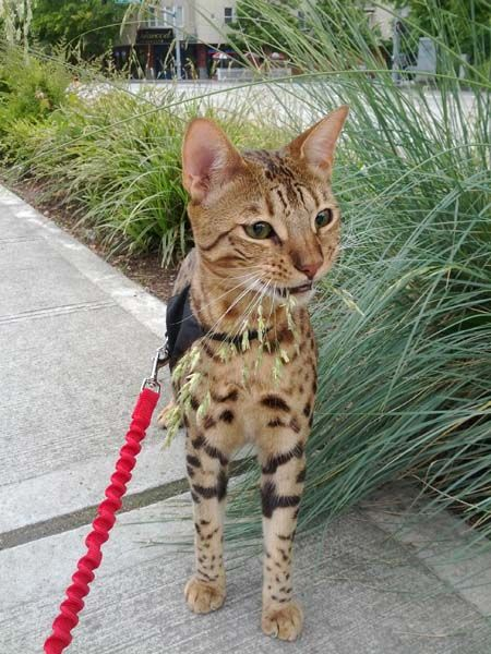 Client Brag Page - Savannah Cats - Select Exotics Phillips F3 Savannah #savannahcats #exoticcats #cats