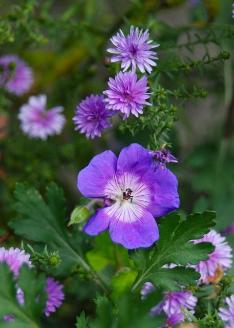 Geranium 'Rozanne' still blooming along here with double purple Aster hybrida 'Peter III'