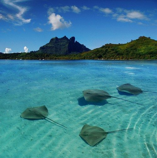 ( Sting Rays, Bora Bora, French Polynesia) sea life, animals, ocean, ocean life, aquatic animals, marine biology, water, under water life #sealife #marine