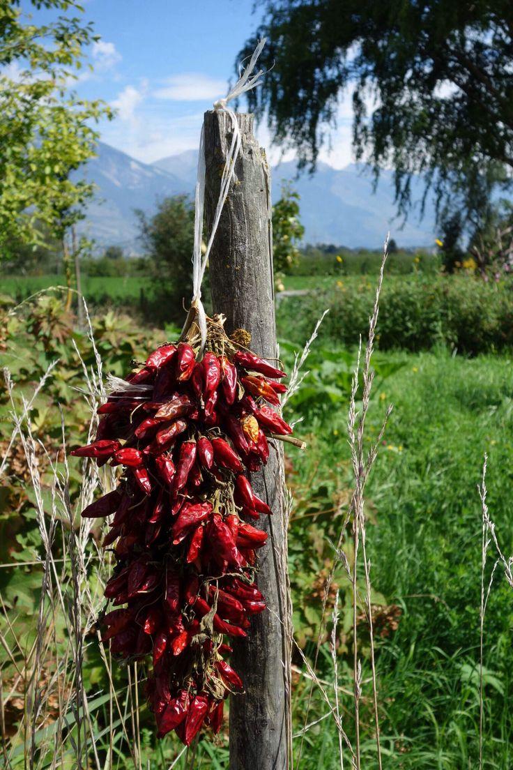 Chili from Venafro. Italy.