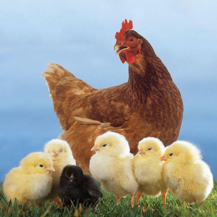 Звук курица скачать бесплатно