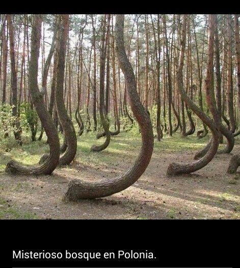 Mujeres embarazadas. Como si quisieran mostrar una inclinación estílistica, 400 pinos en un rincón del oeste de Polonia crecen con una curvatura de 90 grados en su base, dándole un toque femenino y agraciado a la generalmente excrecencia faliforme de los coníferos