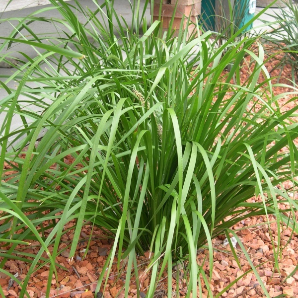 47 best grasses and ground covers images on pinterest grasses au lomandra longifolia strappy australian native grass perfect for rockeries and borders thecheapjerseys Image collections
